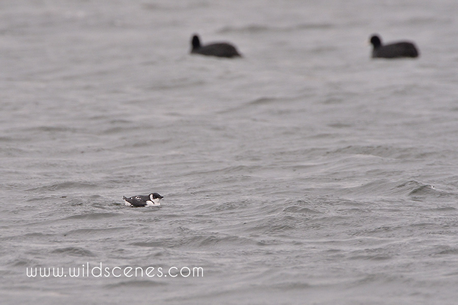 Little auk at Anglers Country Park