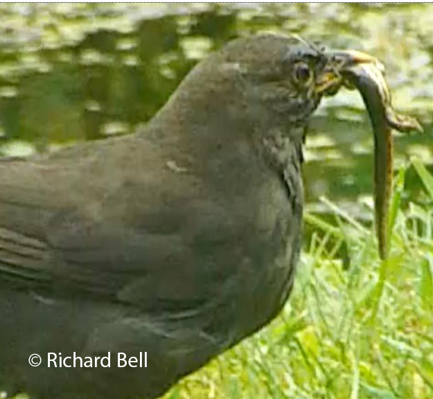 blackbird eating a newt