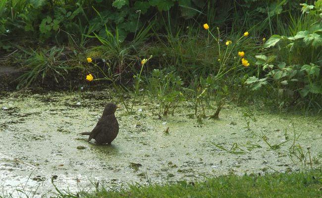 blackbird catching newts