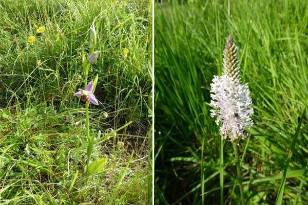 bee orchid  and hairy plantain