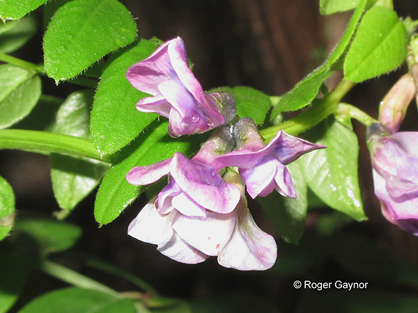 Bush vetch (Vicia sepium)
