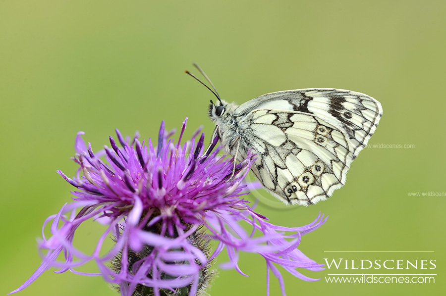 marbled white at Brockodale