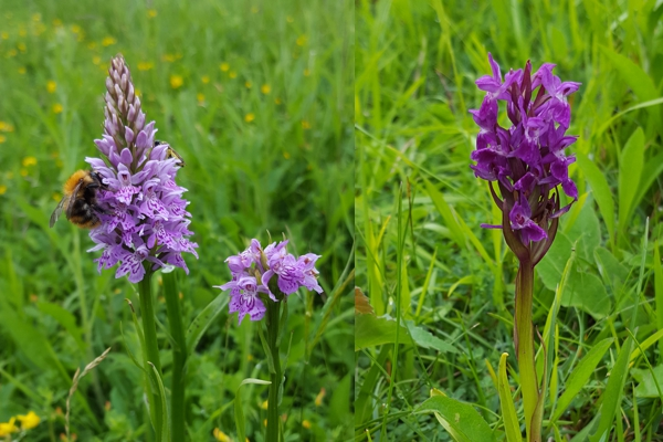 Common Spotted & Early Purple Orchids
