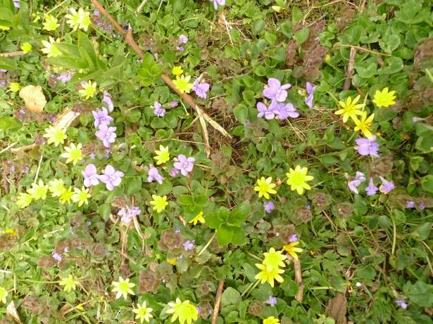 lesser celandine and violets