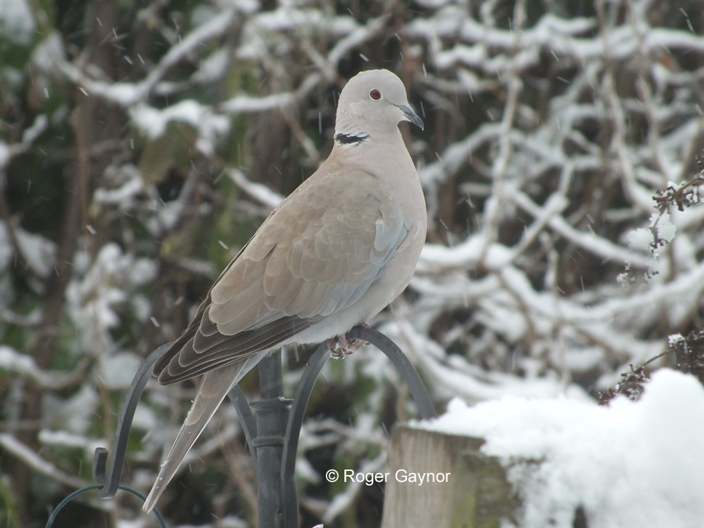 Collared dove in the snow