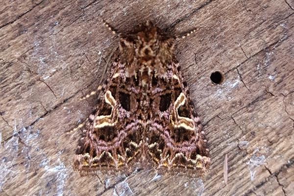 Campion moth