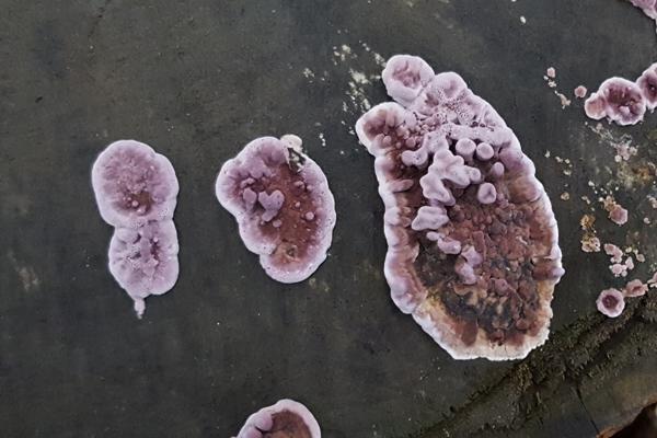 Silverleaf Fungus (Chondrostereum purpureum)