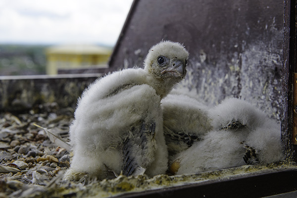 Wakefield peregrine chick in nestbox