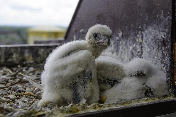 Wakefield peregrine chick in nestbox