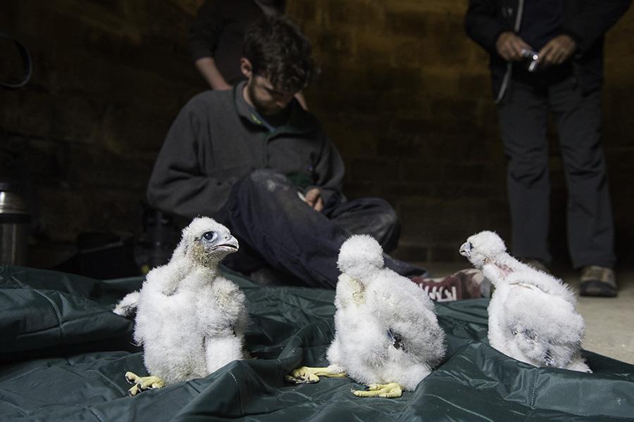 ringing the Wakefield peregrine chicks