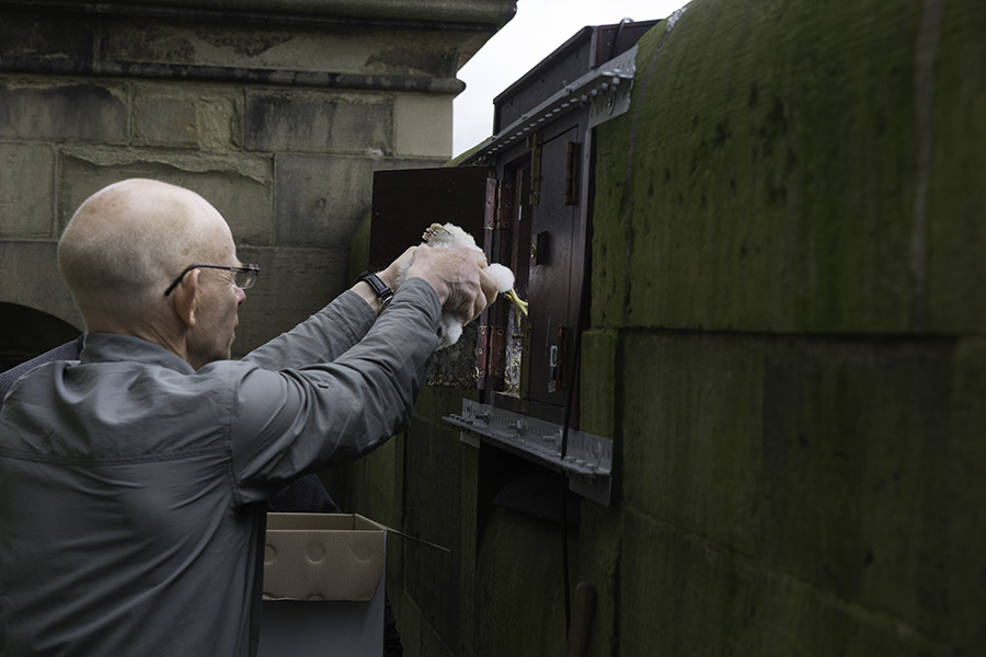 ringing the Wakefield peregrine chicks