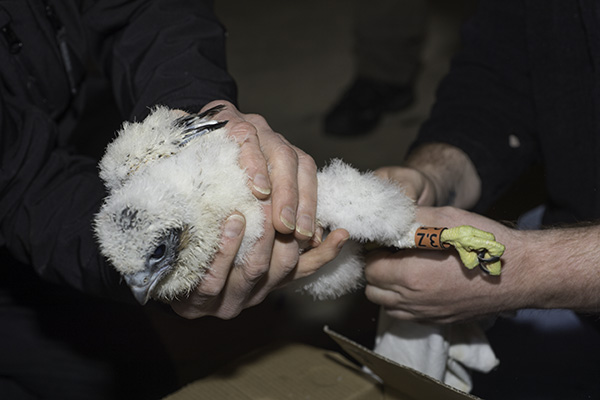 peregrine chick fitted with a Darvic ring