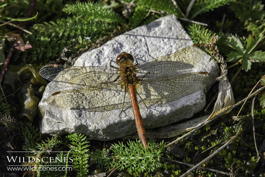 Ruddy darter at Nostell Long Row