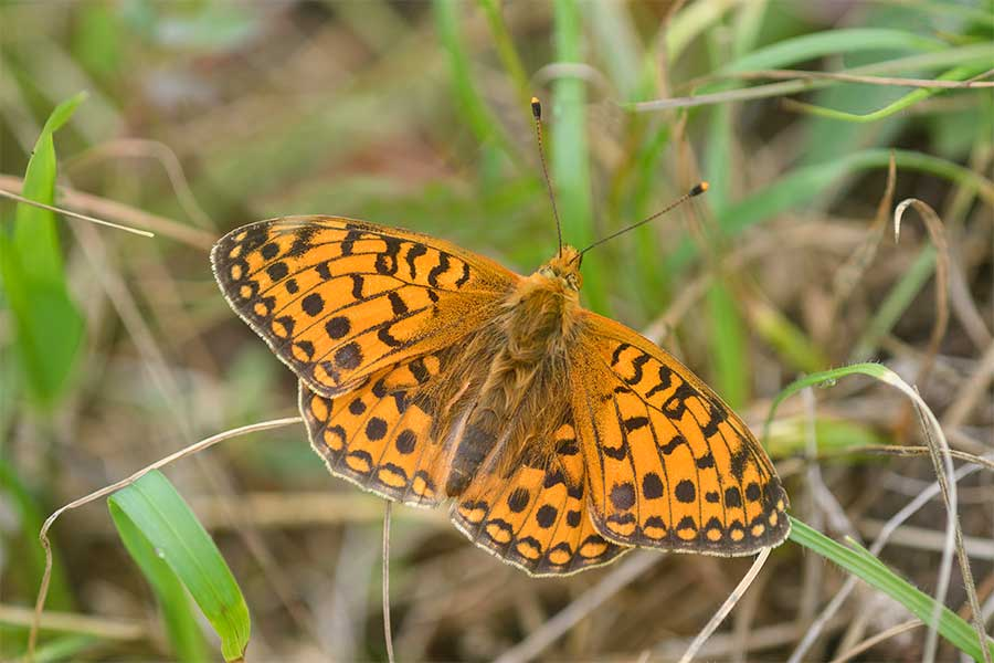 dark green fritillary at Brockadale