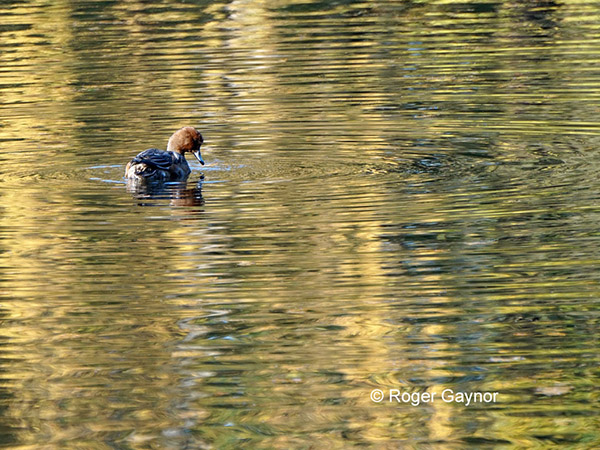 wigeon at Nostell lower lake