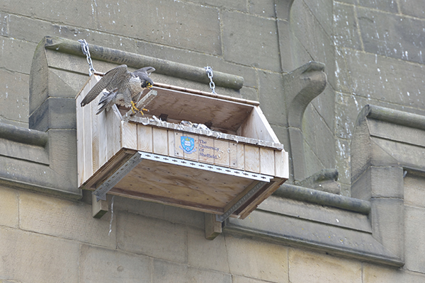 peregrine Wakefield cathedral