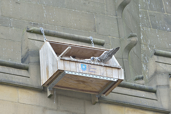Peregrine nestbox Wakefield cathedral
