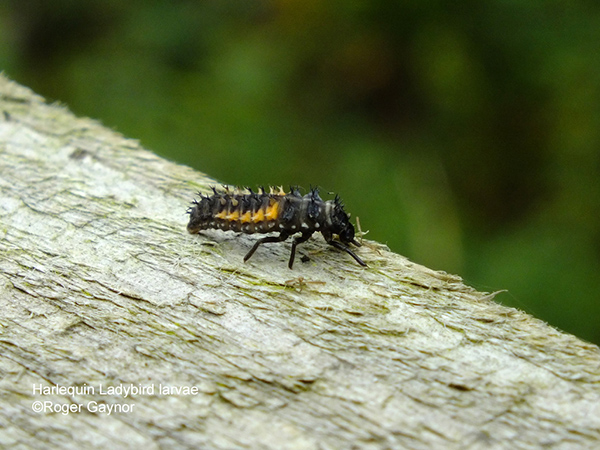 harlequin ladybird larvae