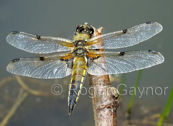 Four spotted Chaser (Lubulula quadrimaculata)