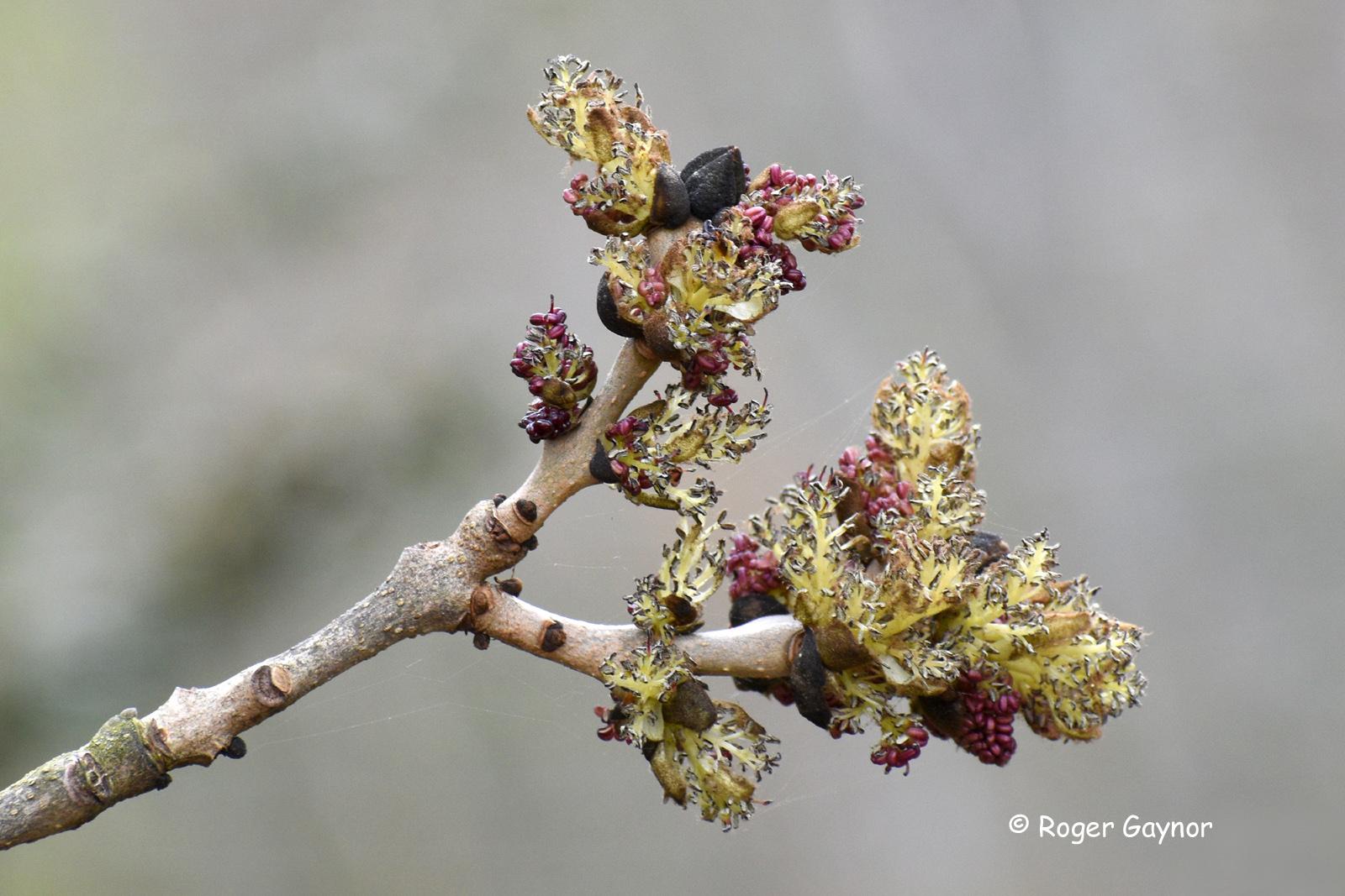 common ash flowers