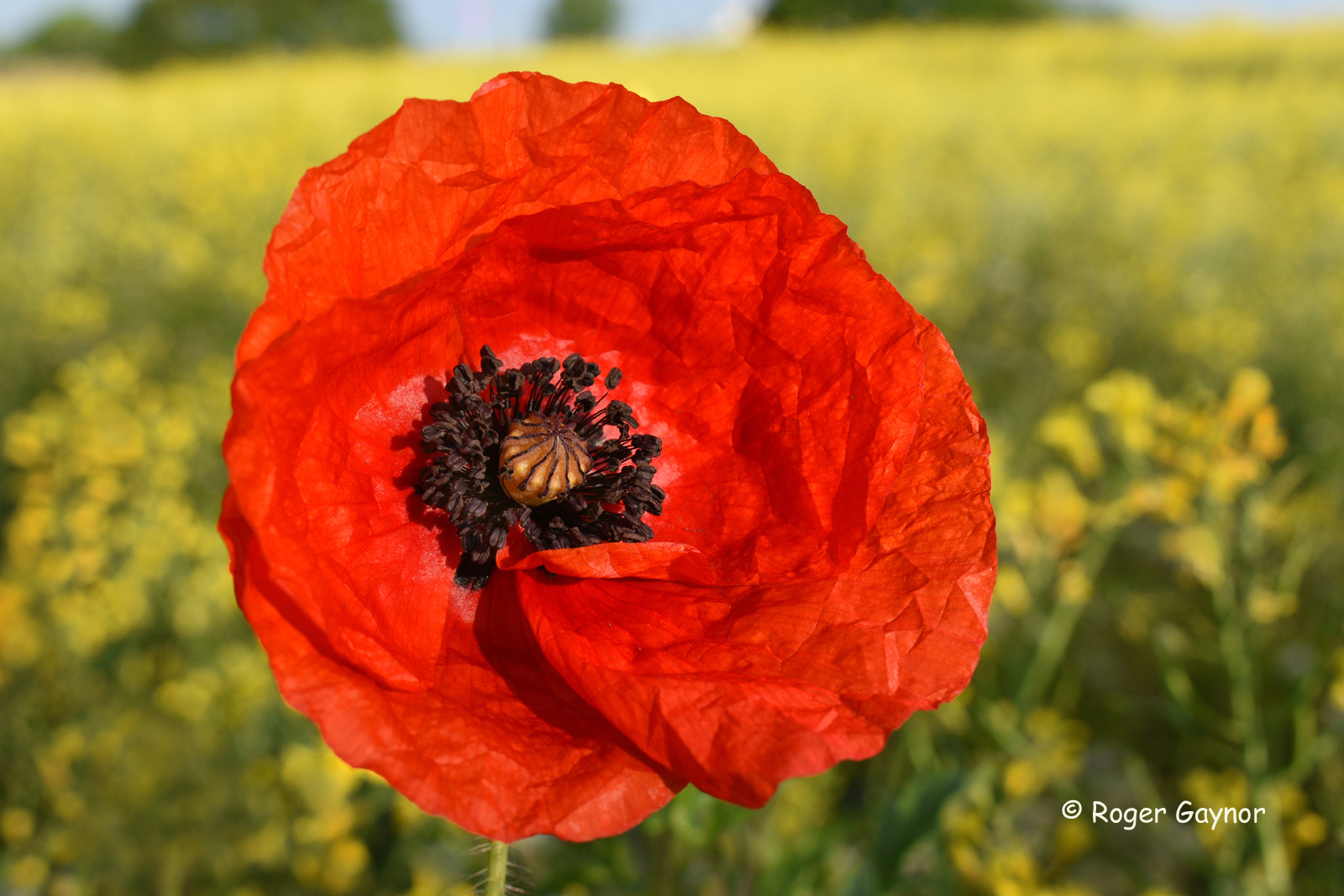 poppy and oil seed rape