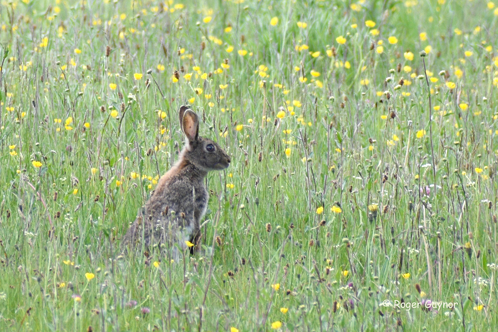 9.rabbit and buttercups