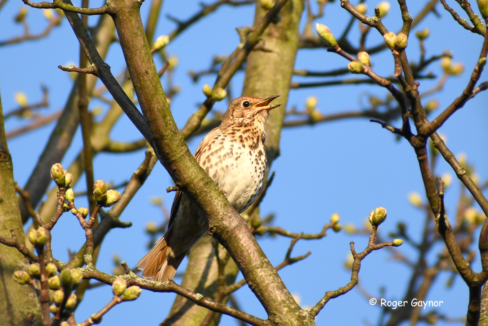 song thrush Wakefield wildlife