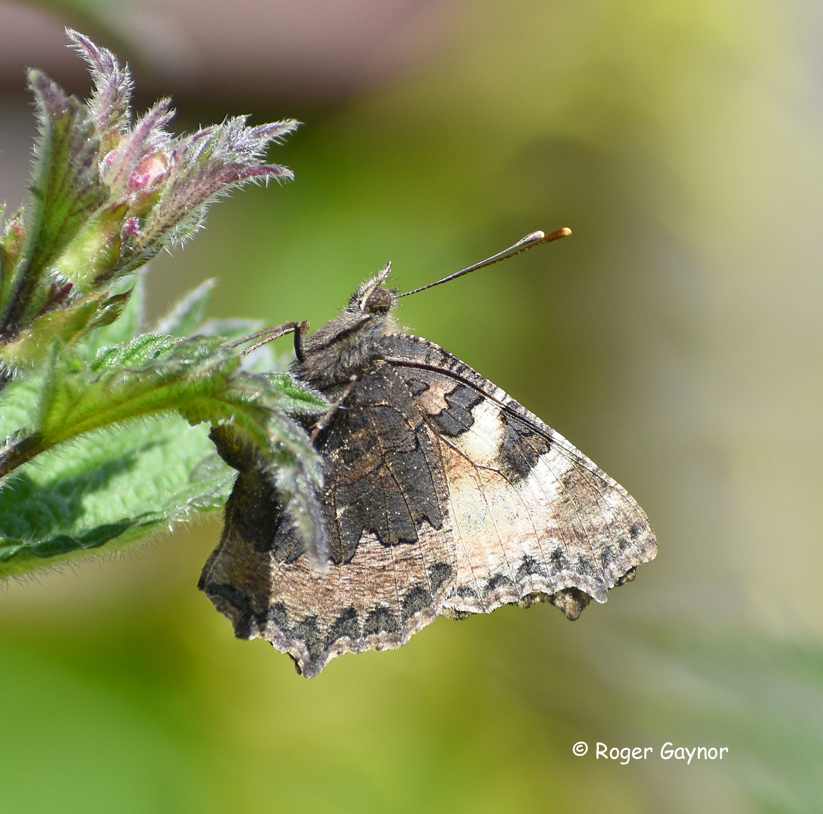 small tortoiseshell egg laying