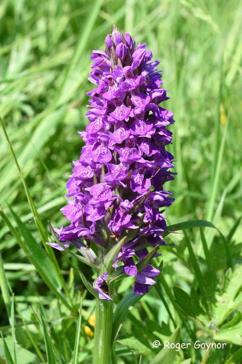 4.hybrid marsh orchid