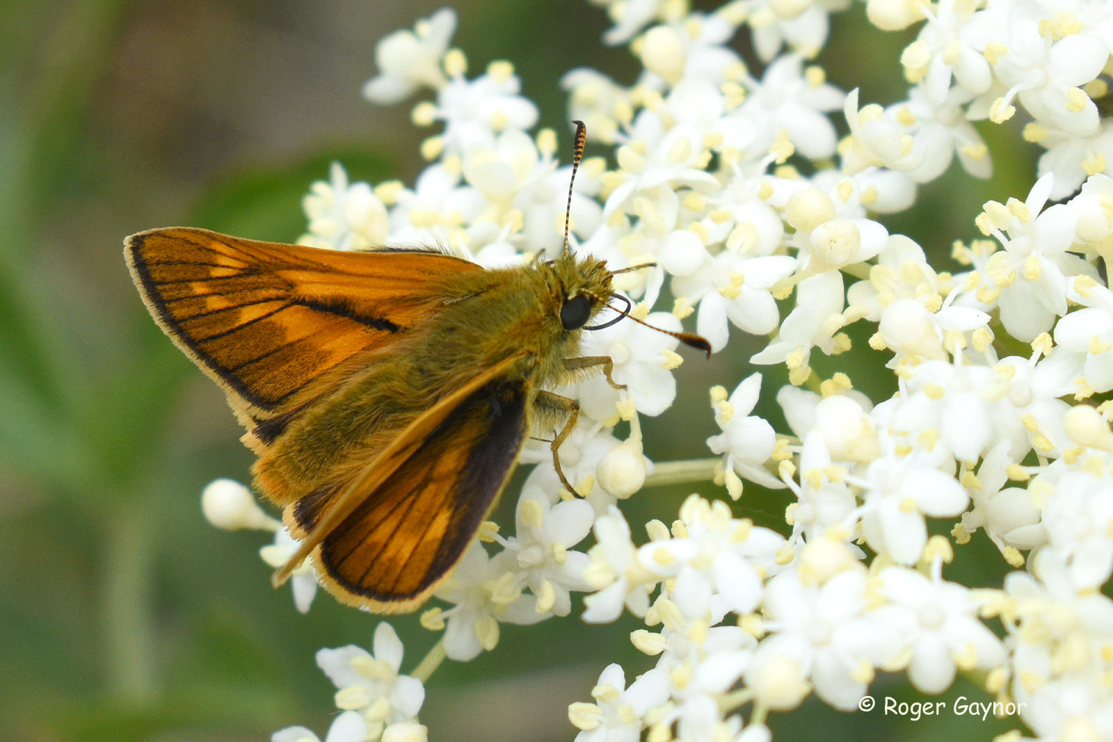 arge skipper near Brandy Carr Road