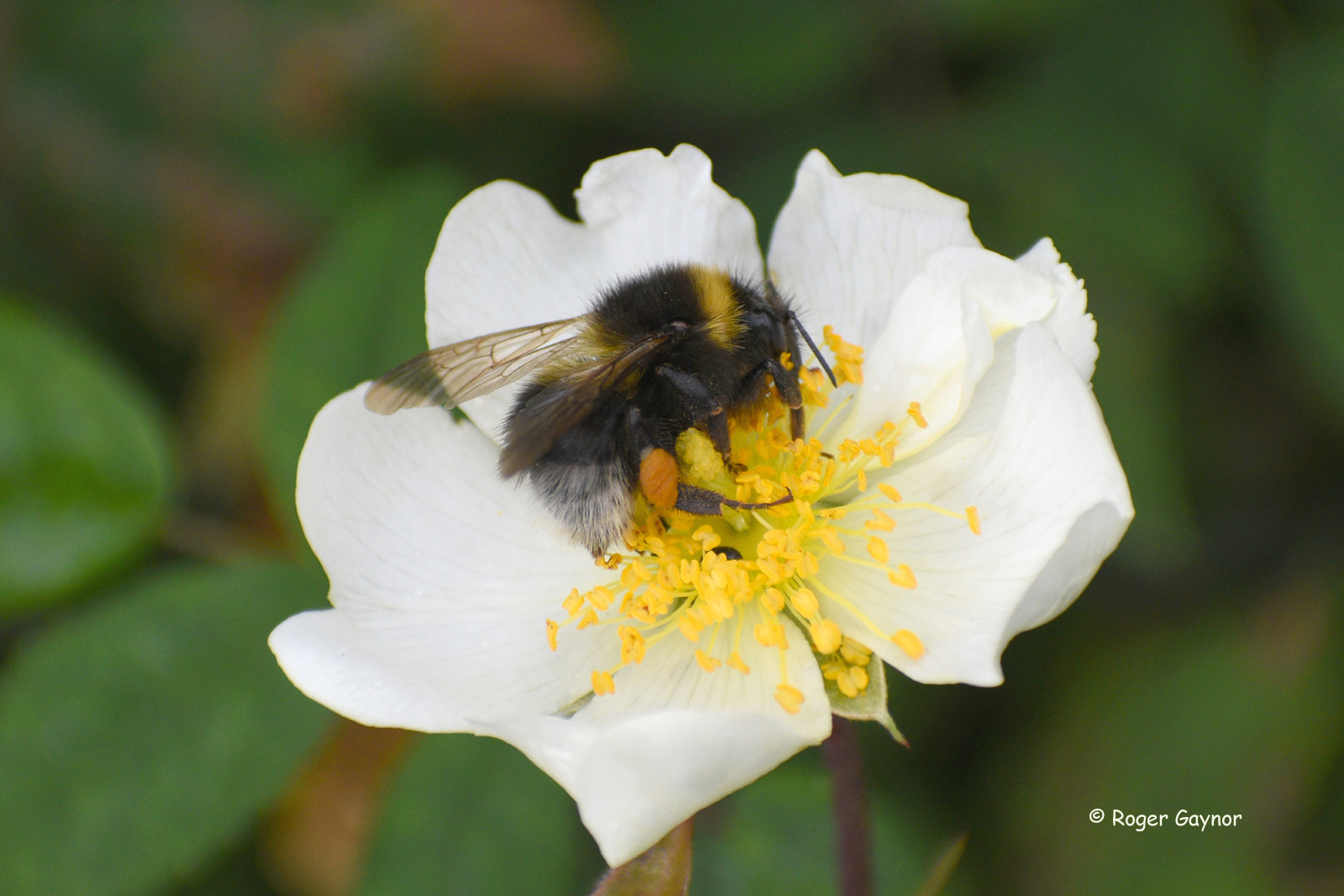 field rose and bumble bee