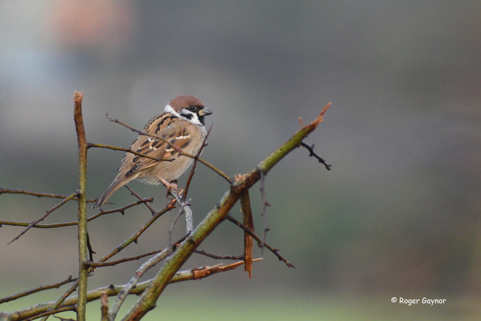 tree sparrow at Lindale Lane Wrenthorpe