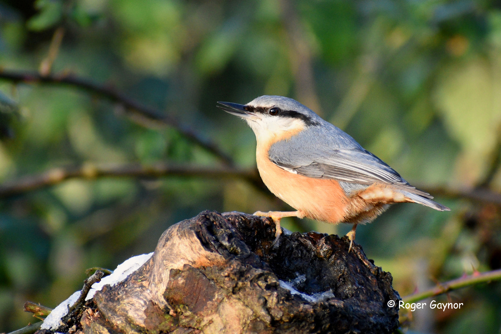 nuthatch at Nostell Priory