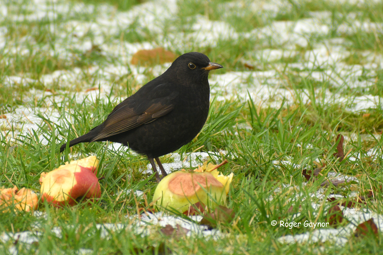 blackbird feeding on apples at Wrenthorpe Road.