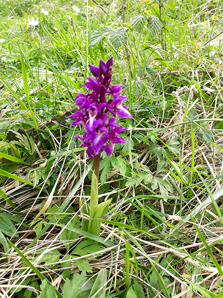 early purple orchid at Brockadale