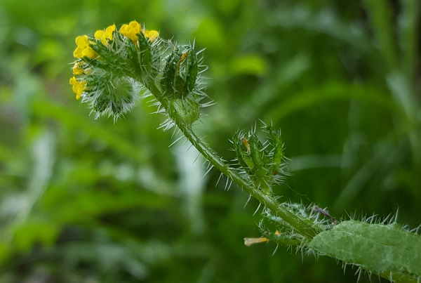 Common Fiddleneck (Amsinckia micrantha)
