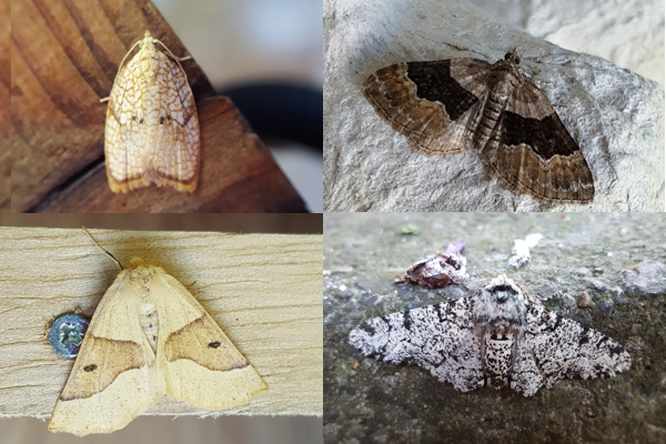 Moths trapped recently