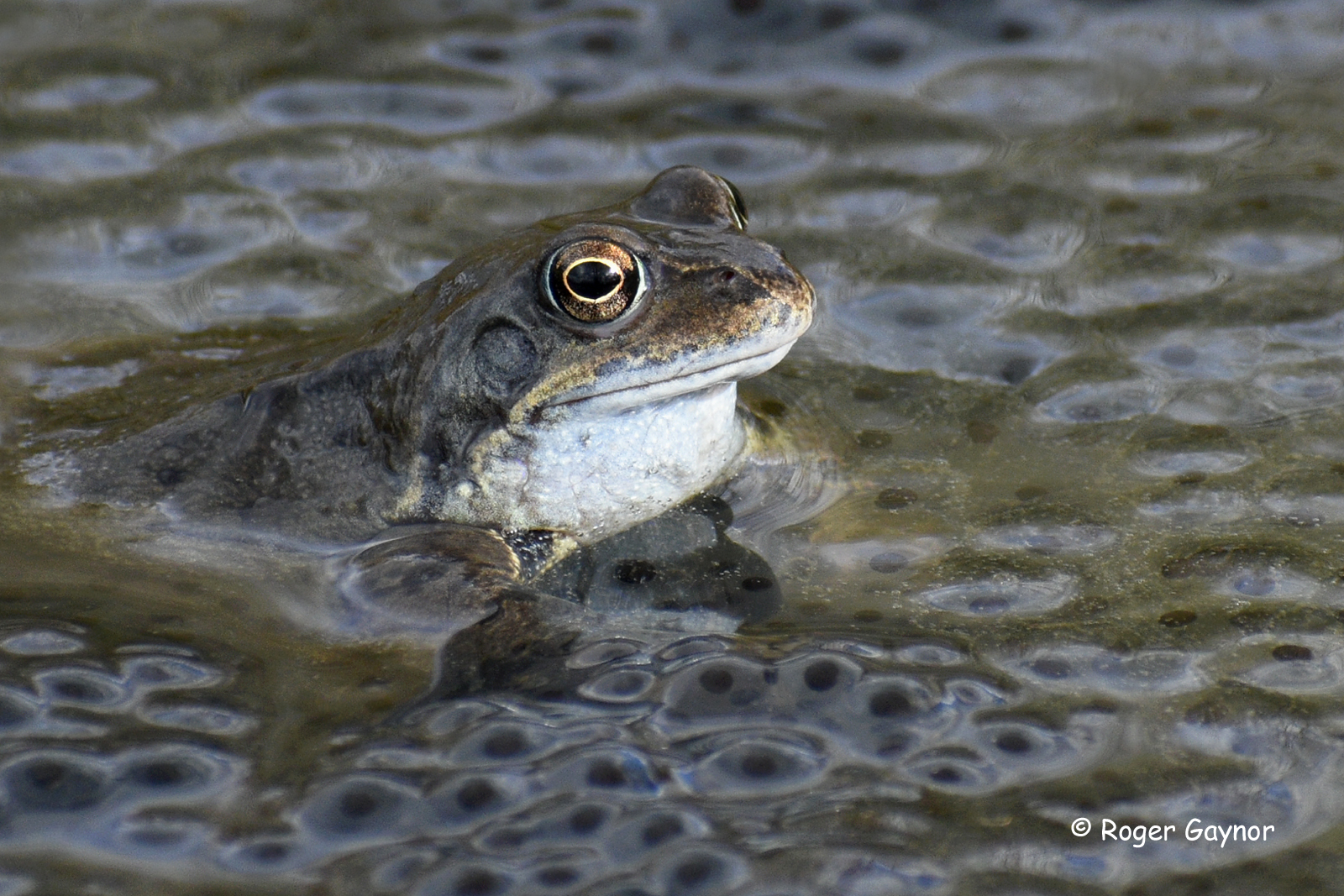 Frog and frog spawn at Wrenthorpe