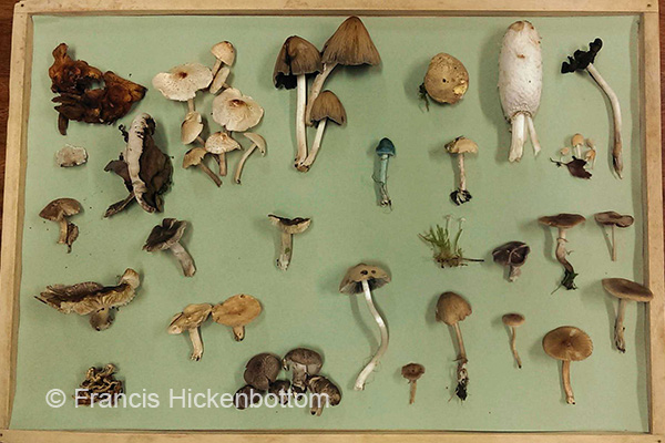 Fungus collection