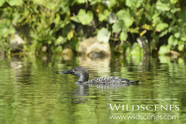 great northern diver in Mirfield