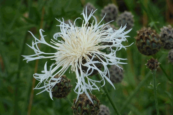 White form of Greater Knapweed