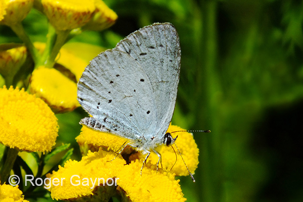 Holly Blue in Wrenthorpe