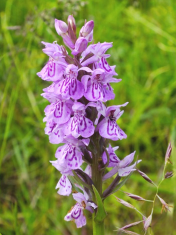 hybrid coomon spotted x northern marsh orchid