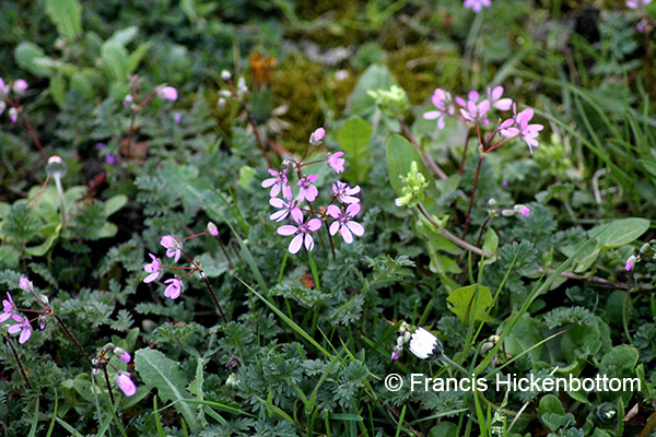 common storksbill (Erodium cicutarium)