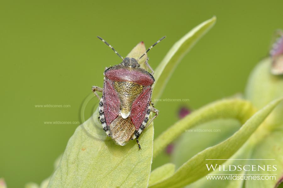 Sloe bug (Dolycoris baccarum)