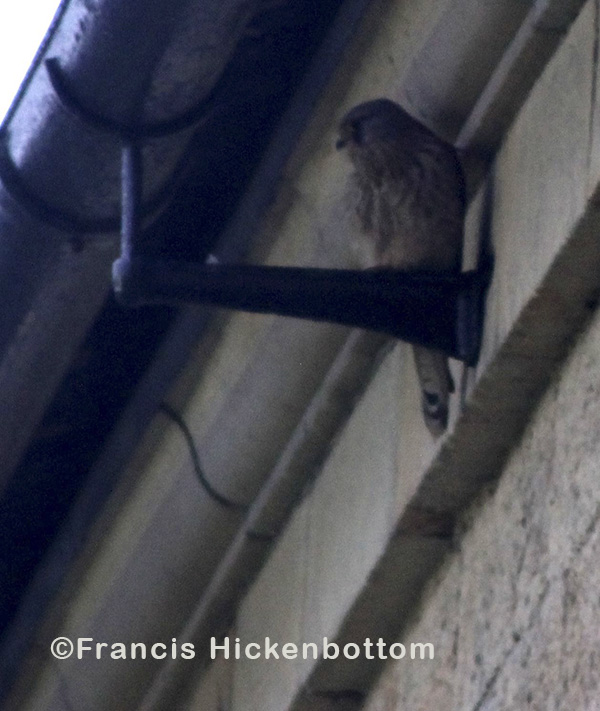 roosting kestrel in Ackworth