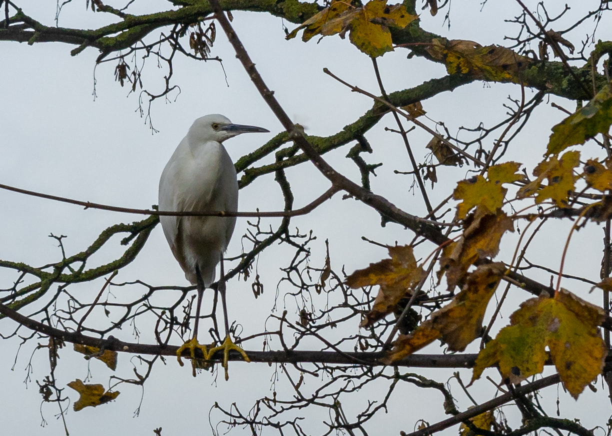 Little Egret in Wrenthorpe
