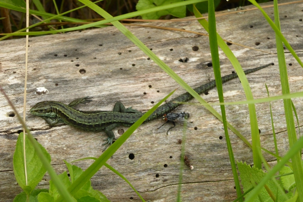 Common lizard.
