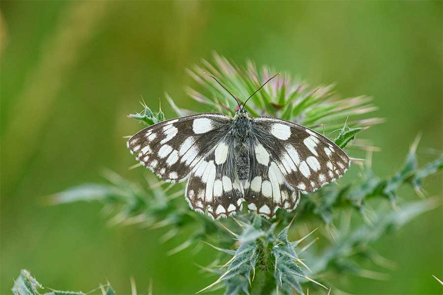 marbled white butterffly at Brockodale
