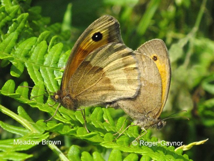 Meadow bron